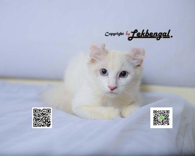 ขาย...ลูกสิงโตขาวในร่างแมว เพศเมีย พันธุ์อเมริกัน เคลอ แท้ American Curl