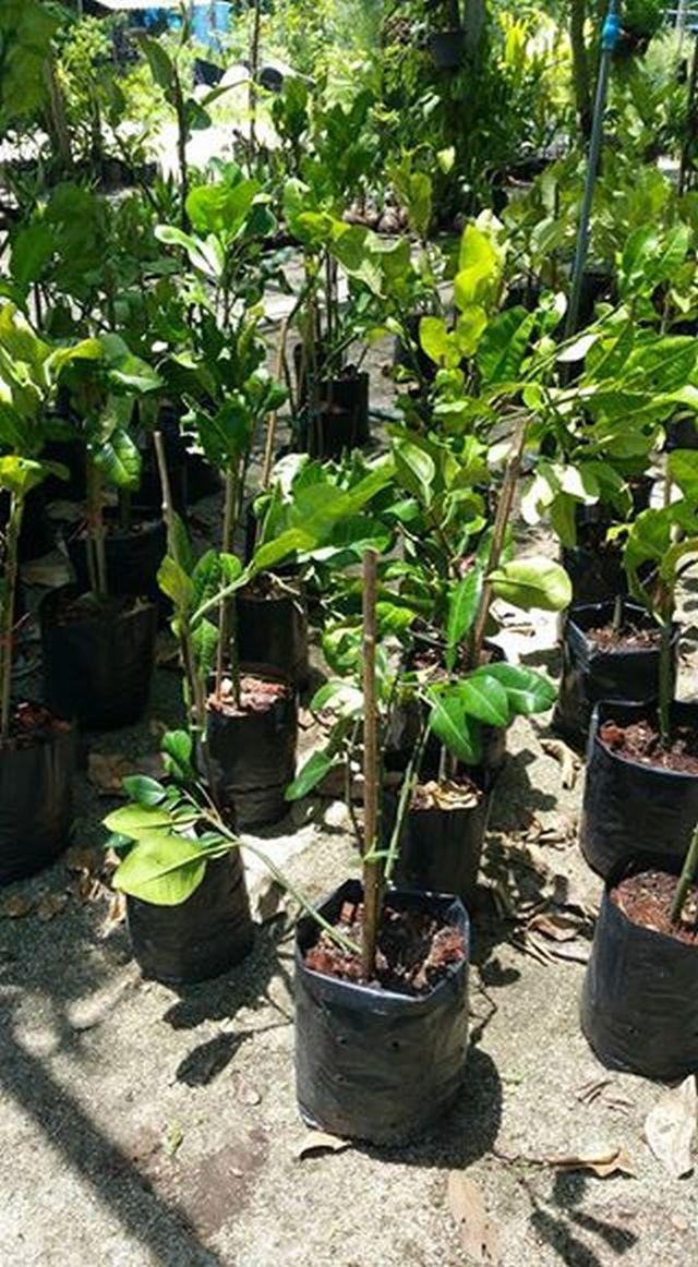 ต้นส้มโอทับทิมสยาม จากถิ่นลุ่มน้ำปากพนัง  190 บาท