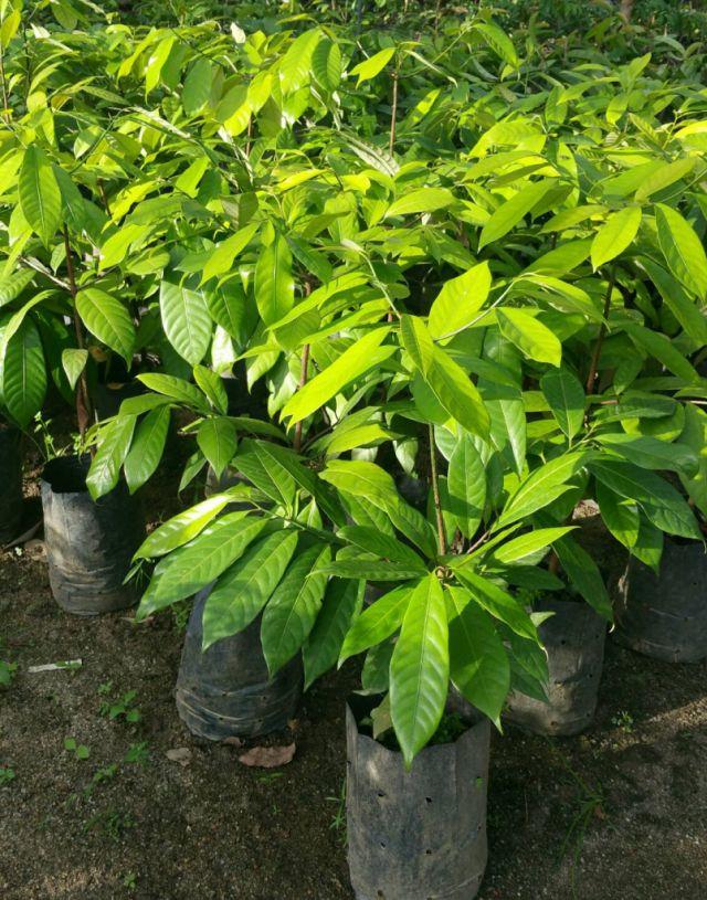 ต้น จันทน์เทศเพาะเมล็ด