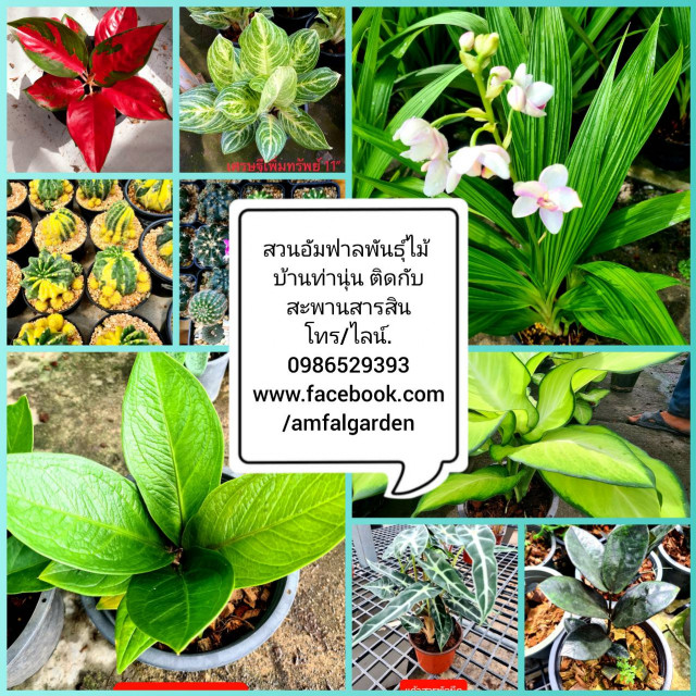 สวนอัมฟาลพันธุ์ไม้ จำหน่ายพันธุ์ไม้ทุกชนิด ไม้ดอก ไม้ประดับ ไม้มงคล ไม้ฟอกอากาศ